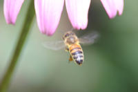 Honeybee in flight